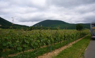 Rast an den Weinreben