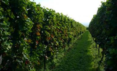 Gepflegte Weinreben….der Stolz unserer Winzer