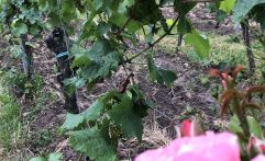 Weinreben im Sommer