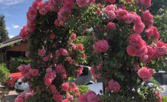 Rosenbogen in Kirrweiler